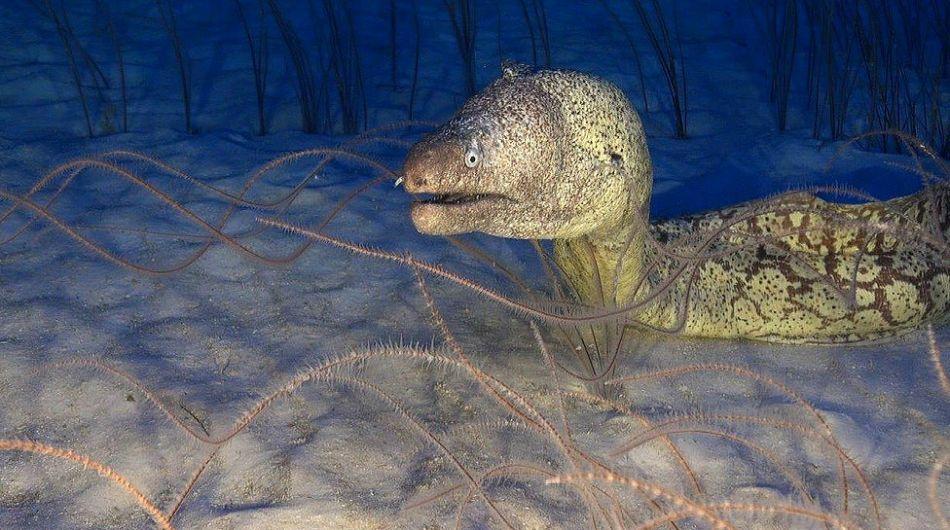 La morena (Muraena helena) es una las criaturas que habita las profundidades del mar que rodea el archipiélago de las Islas Canarias, en el Océano Atlántico. Foto: Oceana.