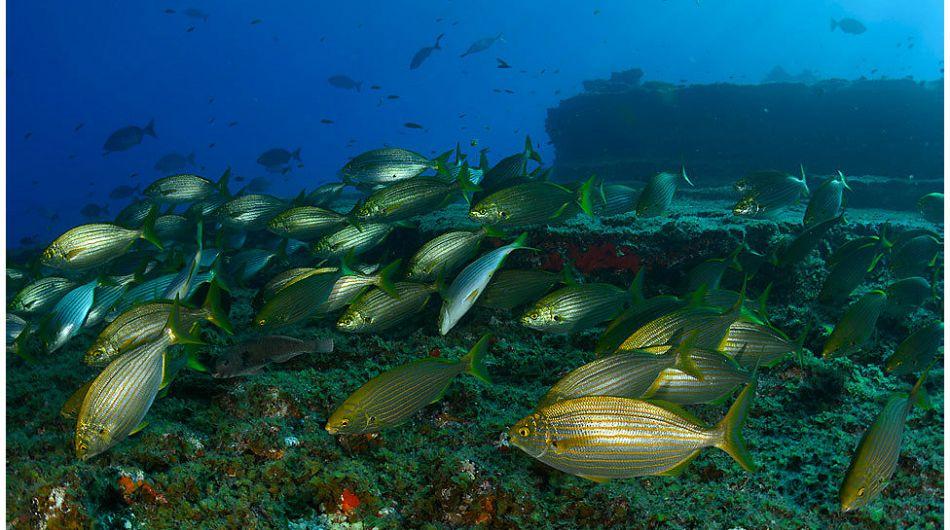 Una expedición de la organización Oceana está recorriendo estas islas españolas para documentar, por primera vez, la rica diversidad que esconden sus aguas. En la imagen, vemos un grupo de salemas o salpas. Foto: Oceana.