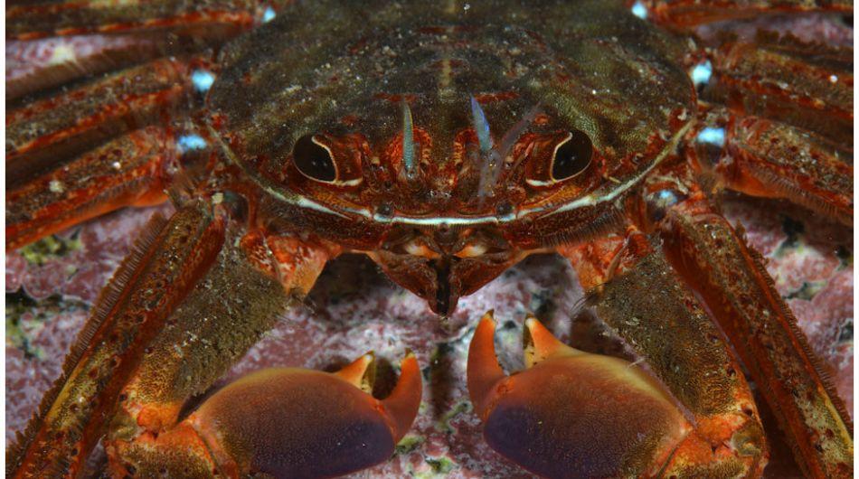 Con ayuda de un robot, los investigadores toman fotografías bajo el agua. Aquí vemos una araña de marisco (Percnon gibbesi), una especie invasora. Foto: Carlos Minguell/Oceana.