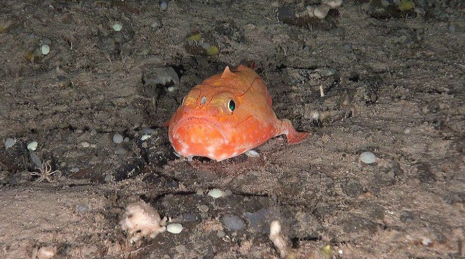 Un rape bostezador (Chaunax suttkusi), hallado en las montañas submarinas al norte de Canarias, mira directo a la cámara del robto. Foto: Chaunax Suttkusi/Oceana.
