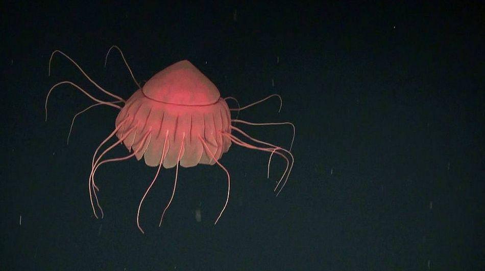 En la oscuridad de la profundidad marina se descatan los intensos colores de la medusa abisal (Periphylla sp.). Foto: Oceana.