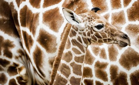 epa05641200 A newborn reticulated giraffe is seen for the first time at the Savannah in Artis Zoo in Amsterdam, the Netherlands, 21 November 2016. The calf is a week old.  EPA/KOEN VAN WEEL